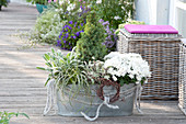 Zinc tub with autumn planting, Chrysanthemum indicum