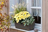Chrysanthemum indicum (autumn chrysanthemum), Pennisetum