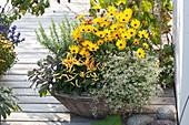 Osteospermum Sunadora 'Florida' (Cape daisy), Euphorbia