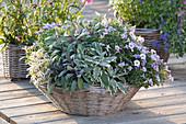 Salvia officinalis 'Rotmühle', 'Purpurascens' and Calibrachoa