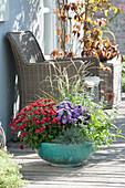 Chrysanthemum indicum, Aster dumosus 'Sapphire'