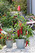 Capsicum annuum 'Paradiso' (mini sweet peppers) in the zinc tub