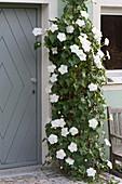 Ipomoea bona-nox syn. Ipomoea alba (moonflower)