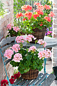 Pelargonium zonal in baskets on chair and table