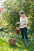 Woman at the apple harvest in the garden