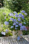 Hydrangea 'Endless Summer' (Hydrangea)