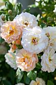 Pink 'Ghislaine De Feligonde' (climbing rose)