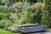 Phlomis tuberosa (bulbous-Turkish sage), roses, geranie