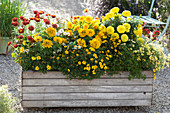 Homemade wooden box with Zinnia (Zinnia), Tagetes erecta