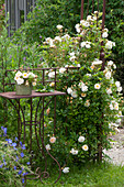 Planting climbing roses on rose arch