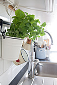 Lemon balm in a little bucket hanging in a kitchen