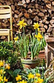 Yellow narcissus in front of stacked firewood in garden