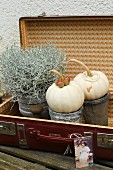 Ornamental squashes and silverbush in grey pot in old suitcase
