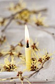 Lit candle arranged with sprigs of flowering witch hazel (Hamamelis)