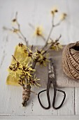 Flowering branches of witch hazel (Hamamelis), scissors and twine