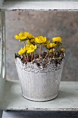 Pot of flowering winter aconites (Eranthis hyemalis)