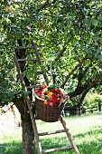Basket of apples and bunch of zinnias on ladder leaning against apple tree