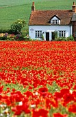 Small cottage at far end of field of red poppies