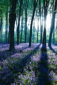 Sea of blue flowers in enchanting woodland