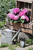 Rosafarbene Hortensien in Holzkisten, alte Gießkanne aus Metall