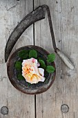 Rose in bowl and sickle on weathered wooden table