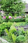 Hydrangeas and roses hung upside down from string in garden