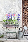 Delphiniums, snapdragons and sea lavender in wooden trough