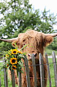 Bouquet of sunflowers on wooden fence in front of calf