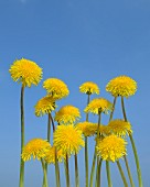 Dandelion flowers against blue background