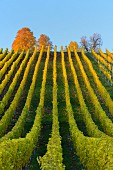 Colourful autumn vineyards (Volkach, Franconia, Bavaria, Germany)