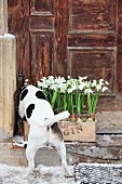 Dog sniffing snowdrops planted in crate