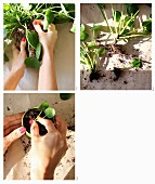 Dividing a foliage plant root ball and potting up offshoots