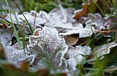 Autumn leaves covered in hoar frost amongst green blades of grass
