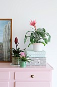 Various bromeliads in top of pink chest of drawers