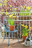 Flowering narcissus in terracotta pots on balcony