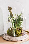 Arrangement of snowdrops and moss under glass cover