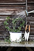 Watering heart-shaped ivy plant with a watering can