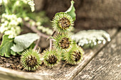 Greater burdock seed heads on rustic wooden table