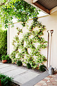 Star jasmine (Trachelospermum jasminoides) in diamond pattern decorates the wall