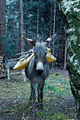 Golden cushion and branches on back of donkey in woodland clearing