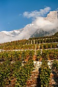 Chamoson vineyard in front of mountain massif in Swiss canton of Valais
