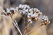 Tansy seedheads covered in hoar frost