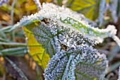 Winter grass and bramble leaf covered in hoar frost