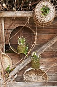 Snowdrops and spring snowflakes in mossy plant pots against wooden wall