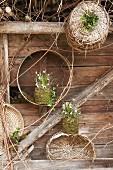 Schneeglöckchen und Märzenbecher in bemoosten Pflanztöpfen vor Holzwand