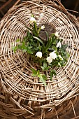 Spring arrangement of snowdrops, spring snowflakes and ivy in wicker basket