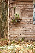 Harbingers of spring: Snowdrops and spring snowflakes on façade of wooden hut in garden