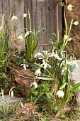 Harbingers of spring: Snowdrops, spring snowflakes and ivy in garden