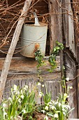 Snowdrops, spring snowflake and antique watering can outside wooden hut