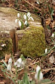 Harbingers of spring: flowering snowdrops growing through mossy tree stump